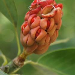 Magnolia virginiana (Sweetbay Magnolia), infructescence
