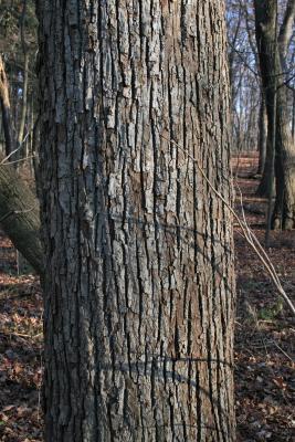Tilia americana var. americana (American Basswood), bark, mature