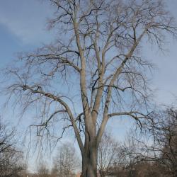 Larix gmelinii var. olgensis (Olga Bay Larch), bark, trunk
