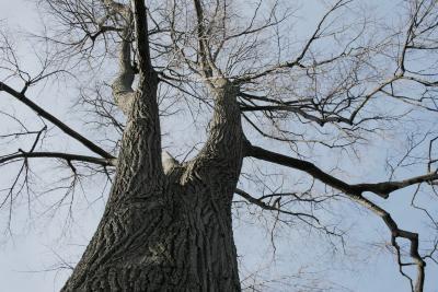 Tilia 'Zamoyskiana' (Zamoyski's Linden), bark, trunk