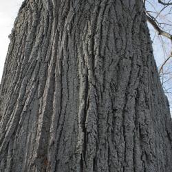 Tilia 'Zamoyskiana' (Zamoyski's Linden), bark, mature