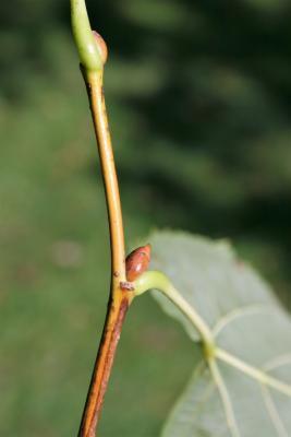 Tilia americana var. americana (American Basswood), bud, lateral