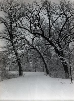 Forest Road in winter with bur oaks arching over road return
