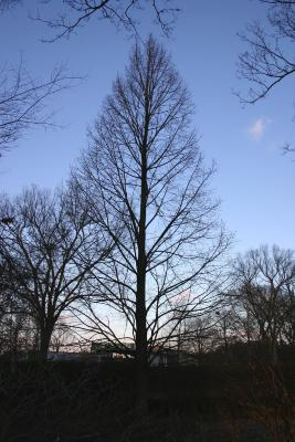 Tilia americana var. heterophylla 'Continental Appeal' (PP 3770) (Continental Appeal White Basswood), habit, winter