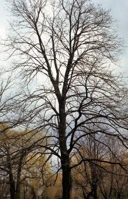 Tilia americana var. americana (American Basswood), habit, winter