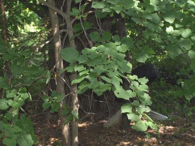 Tilia americana var. americana (American Basswood), leaf, summer