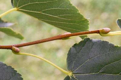 Tilia cordata 'Corzam' (CORINTHIAN® Little-leaved Linden), bark, twig