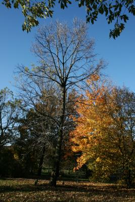 Tilia americana var. americana (American Basswood), habit, fall