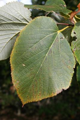 Tilia americana var. heterophylla 'Continental Appeal' (PP 3770) (Continental Appeal White Basswood), leaf, upper surface