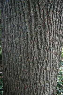 Tilia americana var. heterophylla 'Continental Appeal' (PP 3770) (Continental Appeal White Basswood), bark, mature