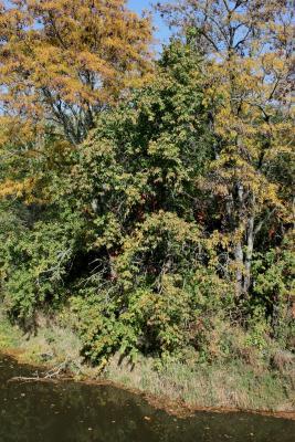 Tilia americana var. americana (American Basswood), habitat
