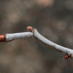 Tilia americana var. americana (American Basswood), bud, terminal