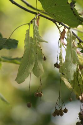 Tilia americana var. americana (American Basswood), infructescence