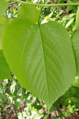 Tilia americana var. americana (American Basswood), leaf, lower surface