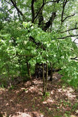 Tilia americana var. americana (American Basswood), habit, young