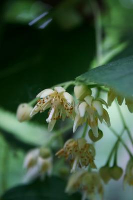 Tilia americana var. americana (American Basswood), flower, full