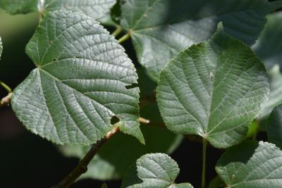 Tilia platyphyllos (Big-leaved Linden), leaf, upper surface
