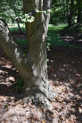 Tilia platyphyllos (Big-leaved Linden), bark, trunk