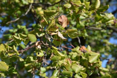 Tilia platyphyllos 'Pyramidalis' (Pyramidal Big-leaved Linden), infructescence