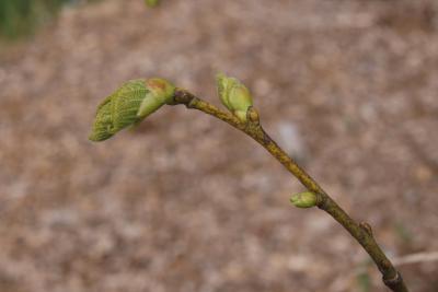 Tilia platyphyllos (Big-leaved Linden), leaf, spring