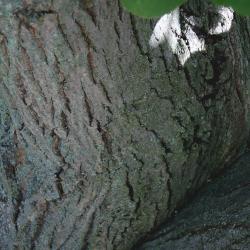 Tilia oliveri (Oliver's Linden), bark, trunk