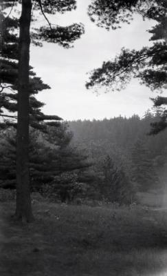 Evergreen trees at Arnold Arboretum
