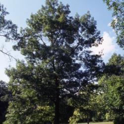 Quercus acerifolia (Maple-leaved Oak), leaf, upper surface