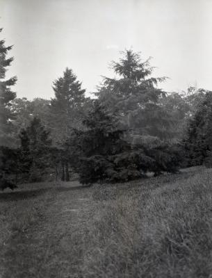 Short, medium and tall evergreens at Arnold Arboretum