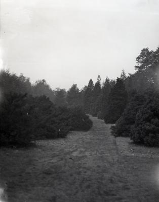Grass path through evergreens at Arnold Arboretum