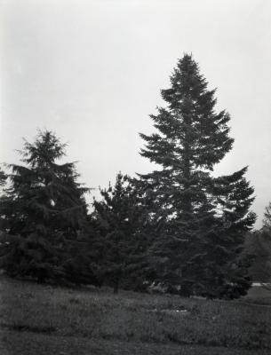 Three evergreen trees at Arnold Arboretum