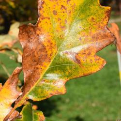 Quercus acutissima (Sawtooth Oak), leaf, fall