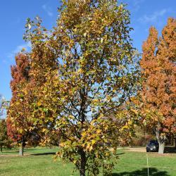 Quercus acutissima (Sawtooth Oak), fruit, mature