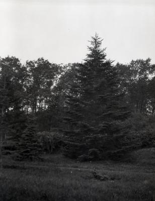 Tall evergreen on right at Arnold Arboretum