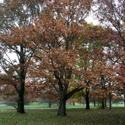 Quercus alba (White Oak), flower, staminate
