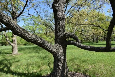 Quercus acutissima (Sawtooth Oak), bark, trunk