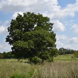 Quercus bicolor (swamp white oak), acorns and leaves detail