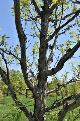 Quercus 'K. B. Crystal' (K. B. Crystal Oak), bark, trunk