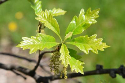 Quercus 'K. B. Crystal' (K. B. Crystal Oak), leaf, new