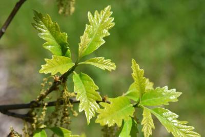 Quercus 'K. B. Crystal' (K. B. Crystal Oak), leaf, spring