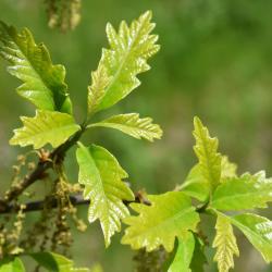 Quercus 'K.B. Crystal' (K. B. Crystal Oak), leaf, fall