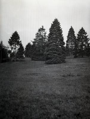 Evergreens on a hill at Arnold Arboretum