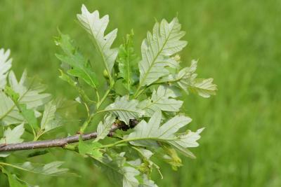 Quercus 'K.B. Crystal' (K. B. Crystal Oak), leaf, lower surface