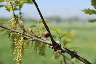 Quercus 'K. B. Crystal' (K. B. Crystal Oak), gall, twig