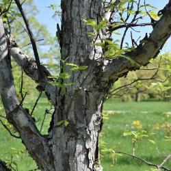 Quercus 'K.B. Crystal' (K. B. Crystal Oak), bark, mature