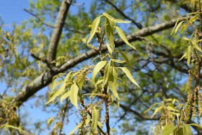 Quercus acutissima (Sawtooth Oak), leaf, new