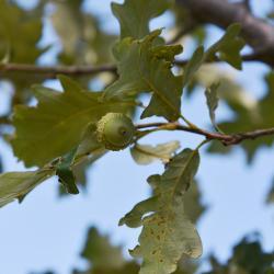 Quercus acutissima (Sawtooth Oak), fruit, immature