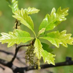 Quercus 'K.B. Crystal' (K. B. Crystal Oak), inflorescence