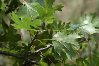 Quercus acerifolia (Maple-leaved Oak), leaf, lower surface