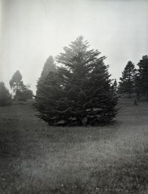 Specimen evergreen in foreground at Arnold Arboretum