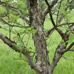 Quercus acutissima (Sawtooth Oak), bark, twig